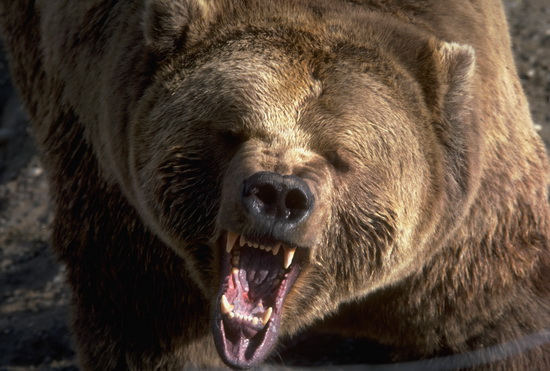 Closeup of a roaring grizzly bear, mouth open, teeth visible.